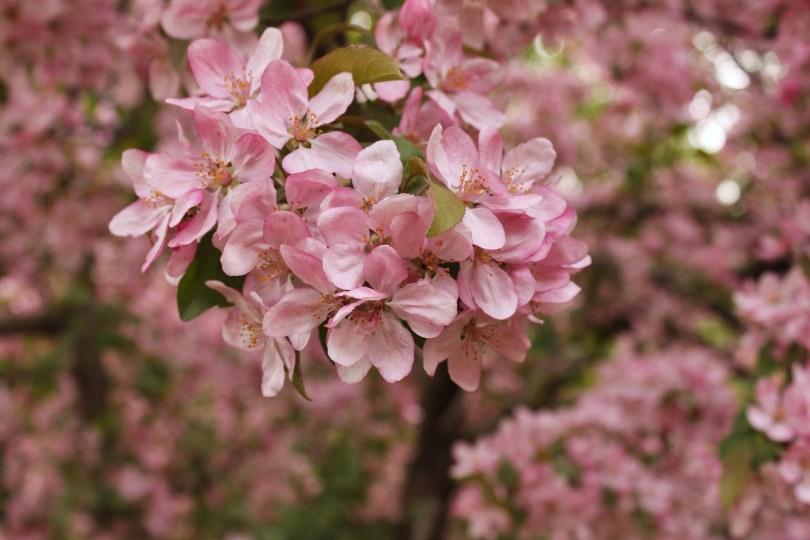 Crab Apple Blossoms